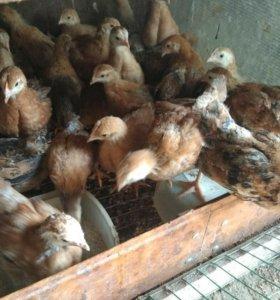 Цыплята Кучинская-юбилейная суточные.(2 нед,1м)
