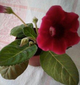 Цветок   Глоксиния с горшком, взрослое растение