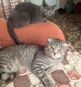 Отдам кошек шотландских ,