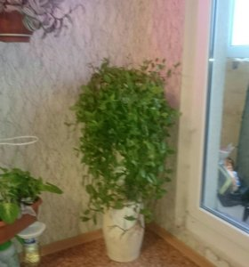Традесканция зелёная. Неприхотливое растение.