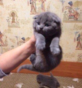 Британские котята, породистые, вислоухие и прямоух