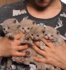Британские котята - милашки))