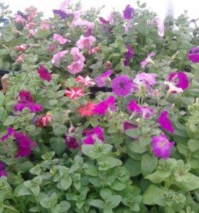 Петунии, бархатцы и другие цветы