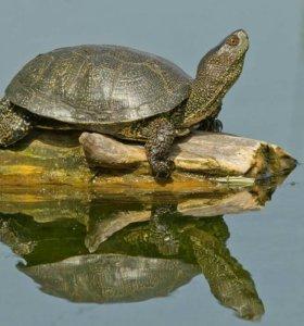болотная американская черепаха
