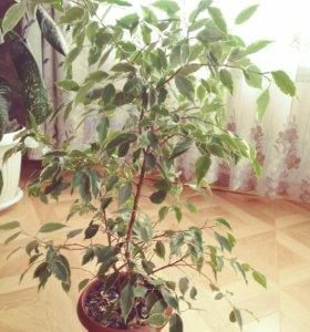 Цветы комнатные без горшков. От 150 рублей до 400