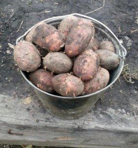 Картофель едовой крупный (самовывоз)