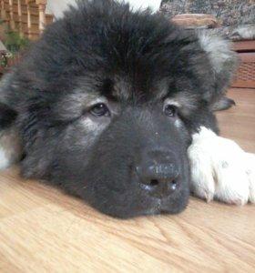 Высокопородистые щенки Кавказской овчарки