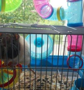 Крыса(мальчик)