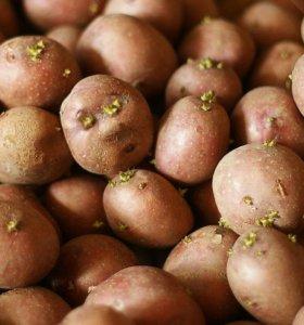 Семенной картофель, свекла