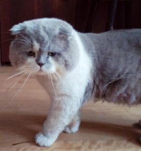 Шотландский вислоухий котик в дар