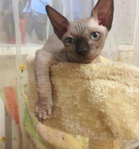 Продаётся котёнок канадского сфинкса