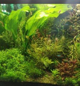 Продам маточный куст эхинодоруса Верховный озелени