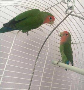 Попугаи неразлучники розовощекие