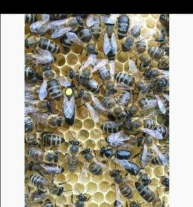 Пчело матки