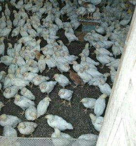 Цыплята подрощенные Адлеровская серебристая
