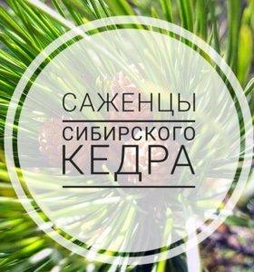 Саженцы кедра сибирского