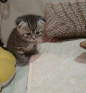 Шотландский плюшевый котенок