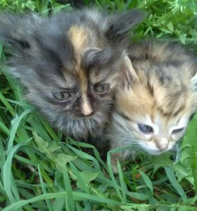 Котята сибирские. Мальчик и девочка.