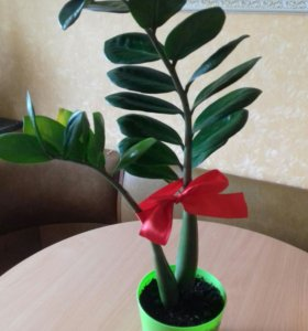Долларовое дерево, замиокулькас