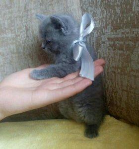 Продам котёнка породы Британской
