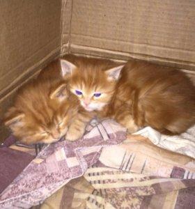 рыжики котята