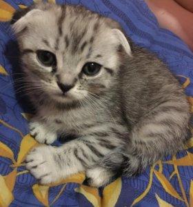 Продаю шотландских вислоухих котят