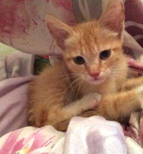 рыжий зеленоглазый котенок( к лотку приучен!)