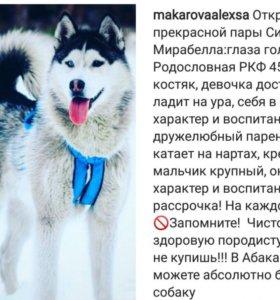 Бронь щенков Сибирский Хаски