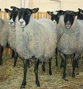 Овцы и бараны романовской породы