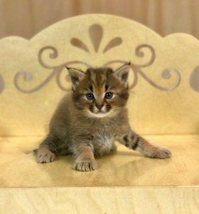 Каракет f1 Уникальные котята!