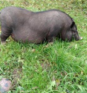 Вьетнамские вислрбрюхие свиньи