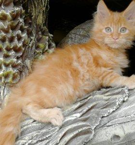 Чистопородные котята мейн-кун.