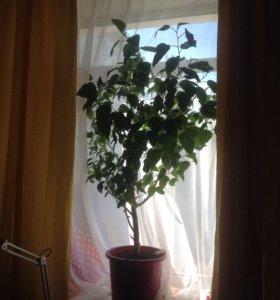 Китайская роза(гибискус)