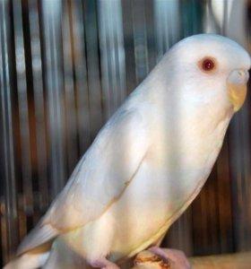 попугай волнистый альбинос