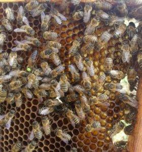 Пчеломатки карника,карпатка
