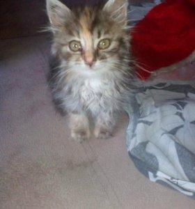 Котёнок девочка примерно полтора месяца цветная