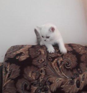 Шатланский котёнок