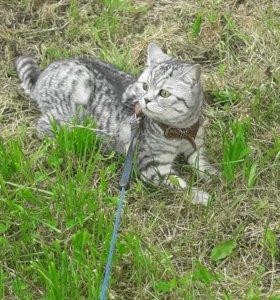Шотландский кастрированный кот