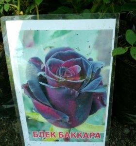 Розы на посадку