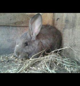 Кролик . Овца-овечка 4 месяца
