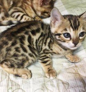 Котята бенгальские с Родословной