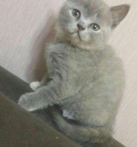 Британский котенок, с документами