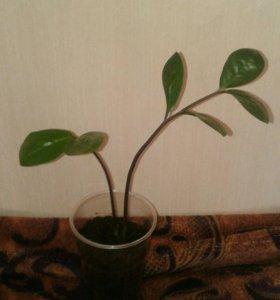 Замиокулькас / долларовое дерево