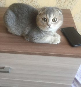 Продам кота