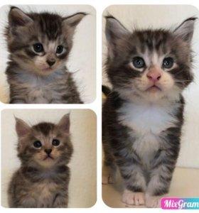 Мейн-кун чистокровные котята