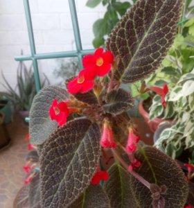 Эписция взрослое растение