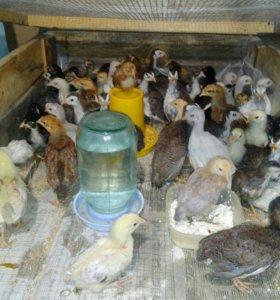 Домашние цыплята и цесарята