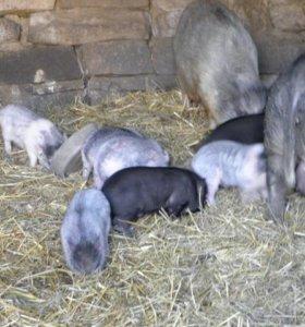 Вьетнамские поросята и свиноматка