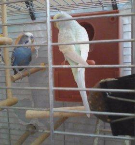 Волнистые попугаи(пара)