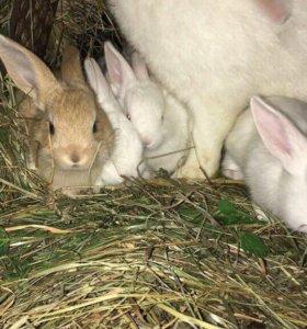 Крольчата домашние мясные